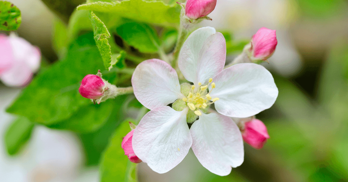 When Do Apple Trees Bloom Everything You Need To Know