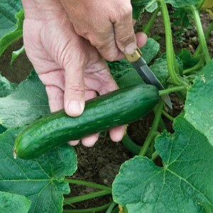 How to Pick Cucumbers