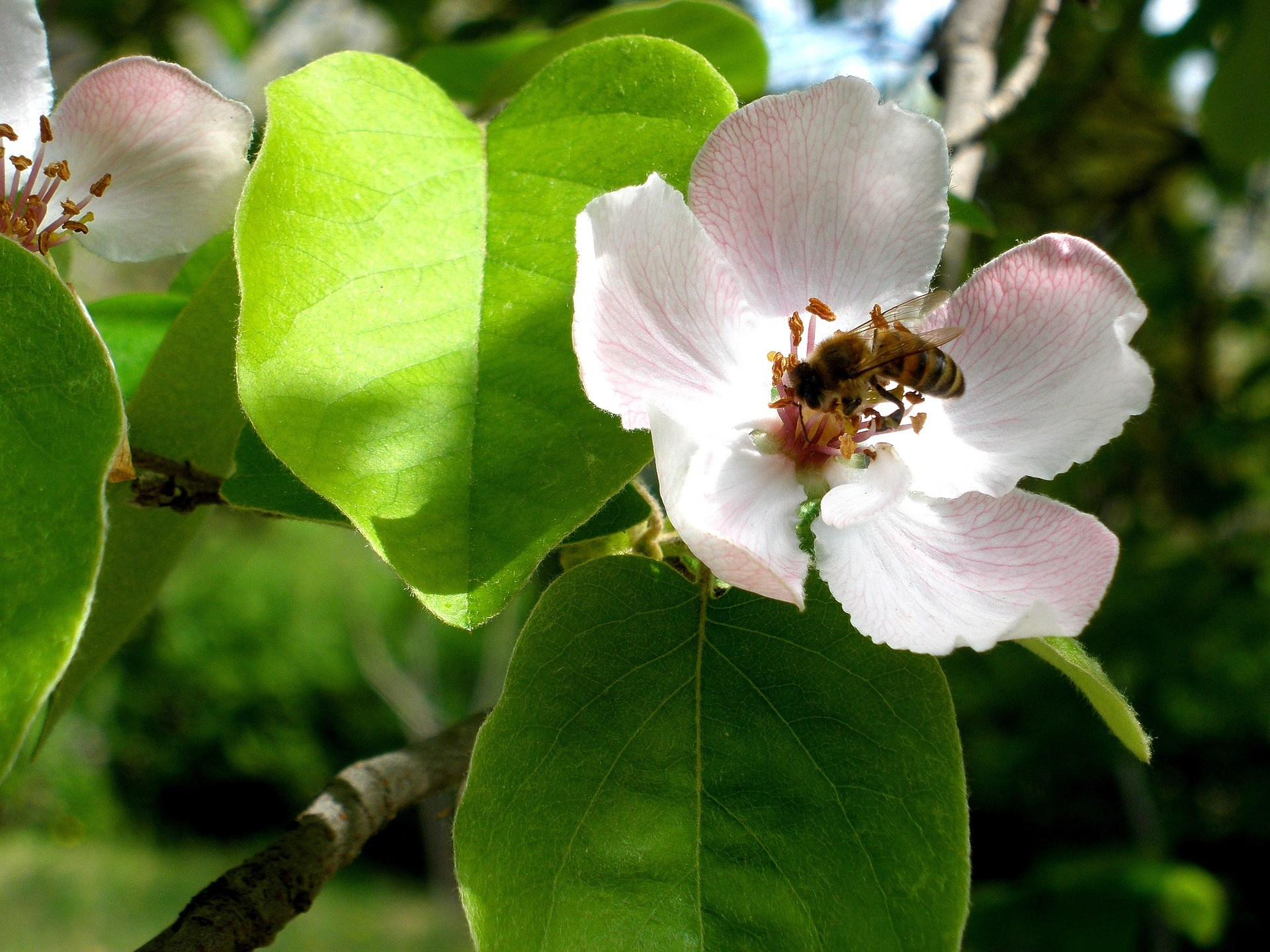 Apple Pollination