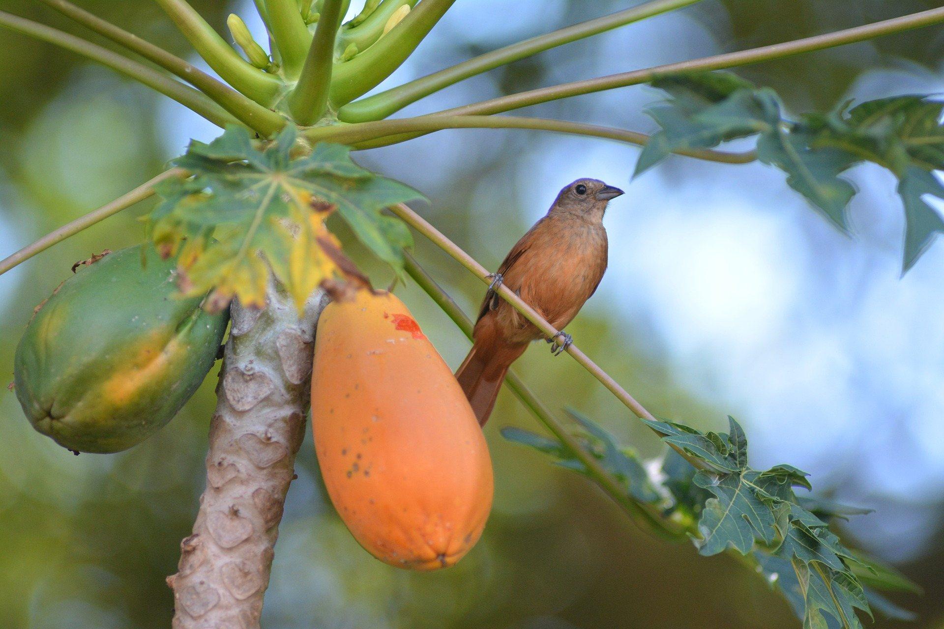 How Ripe Should Papaya Be