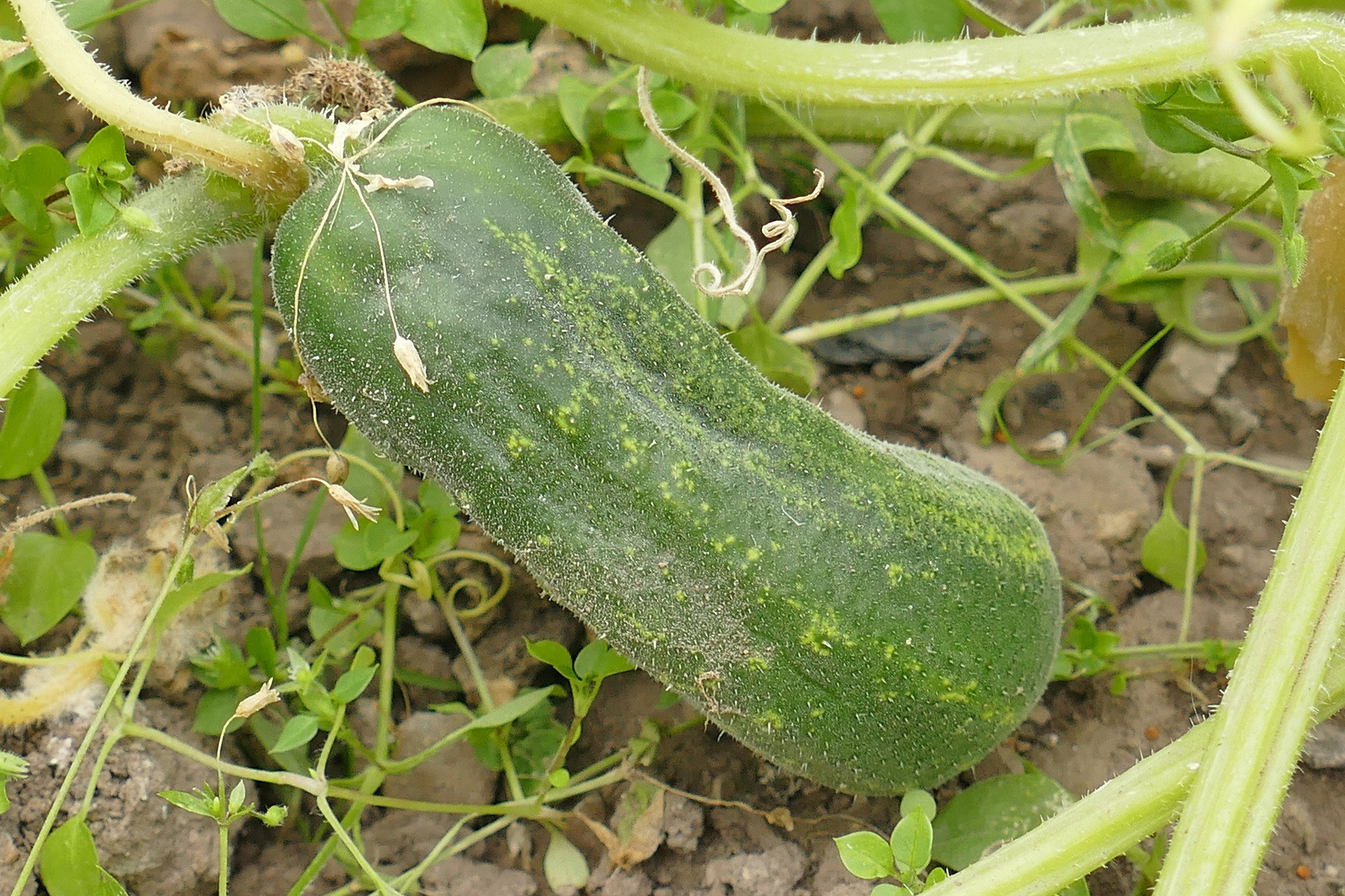 Colour of Cucumbers