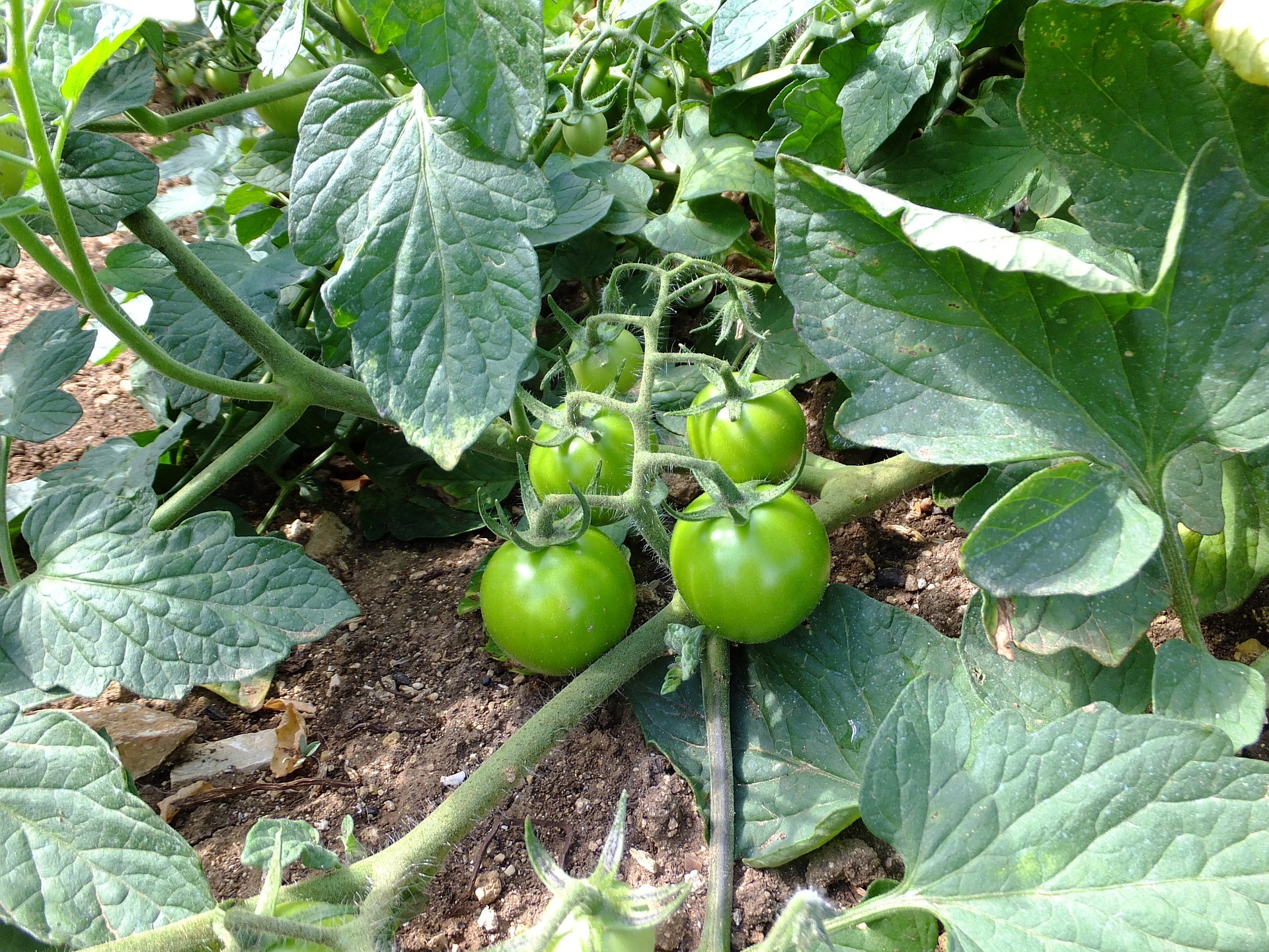 Spacing for Tomatoes that Sprawl