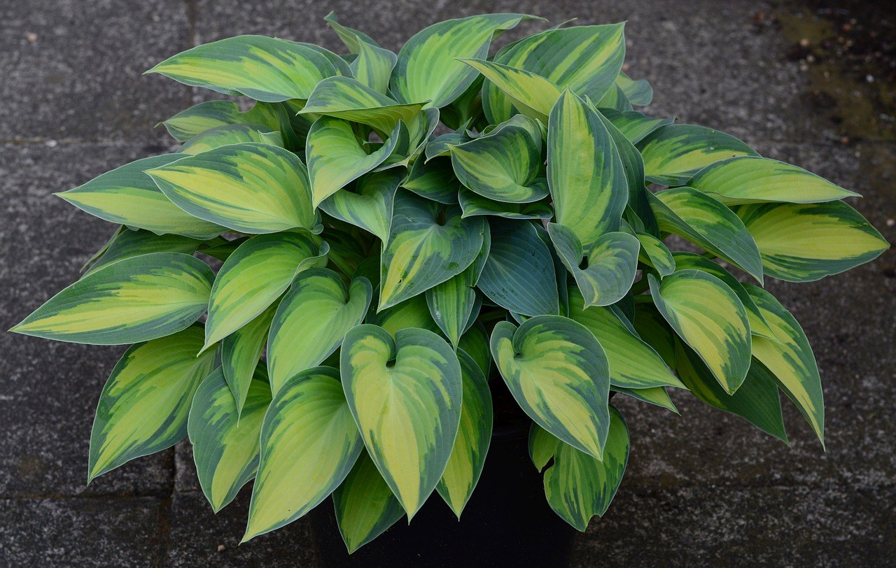 where to buy hosta