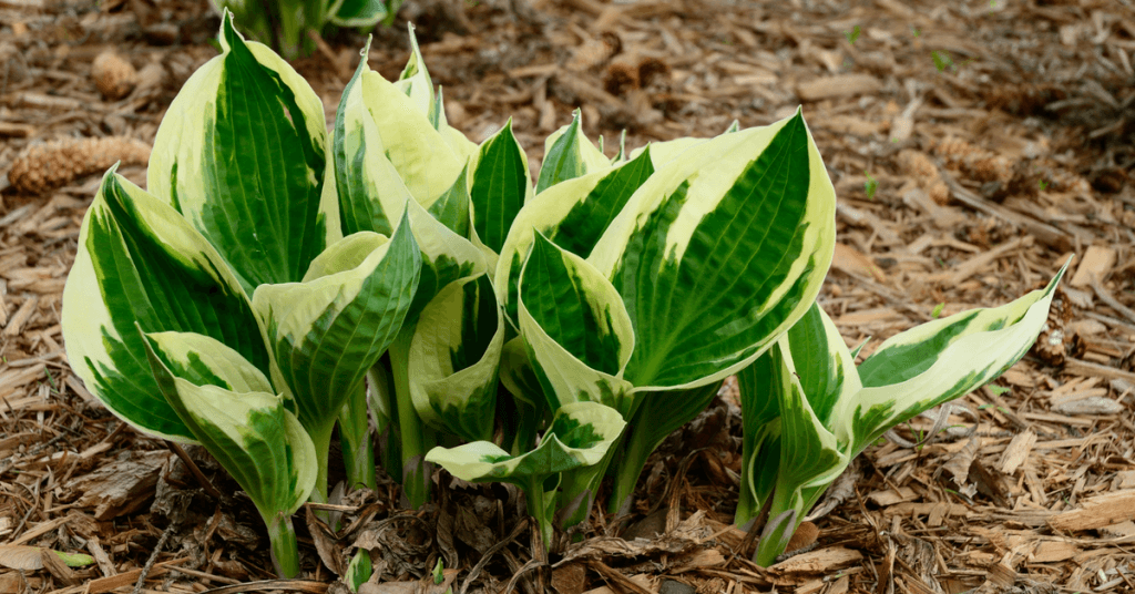 white-feather-hosta