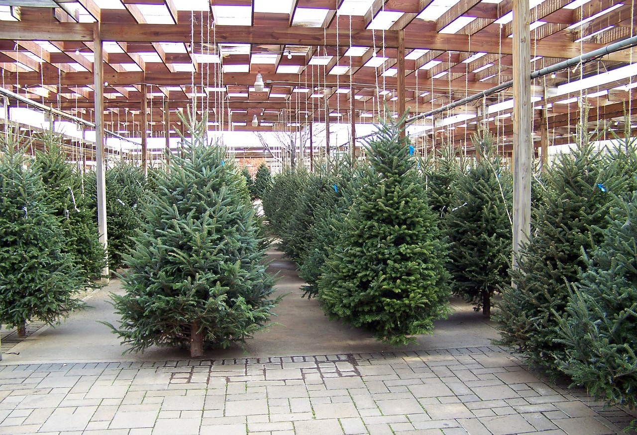 Where to Buy Spruce Trees