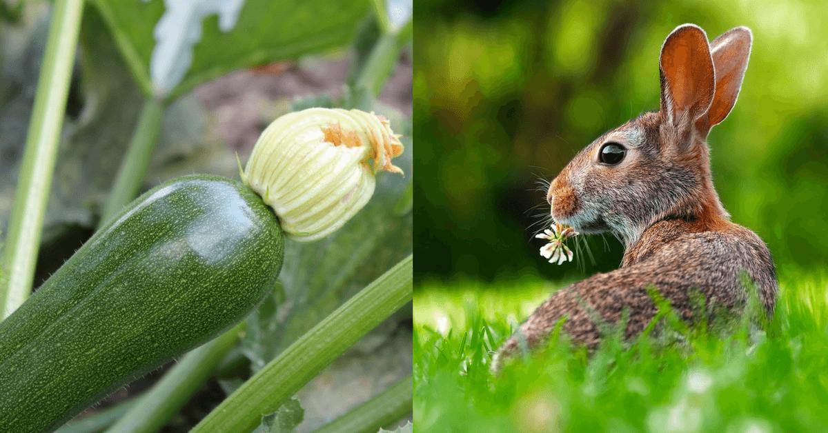 do rabbits eat watermelon plants