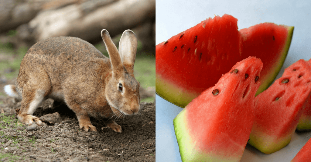 Can rabbits eat watermelon and should they for What parts of a watermelon can you eat