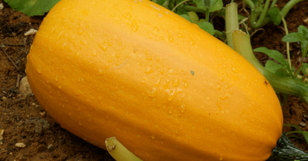when-to-pick-spaghetti-squash