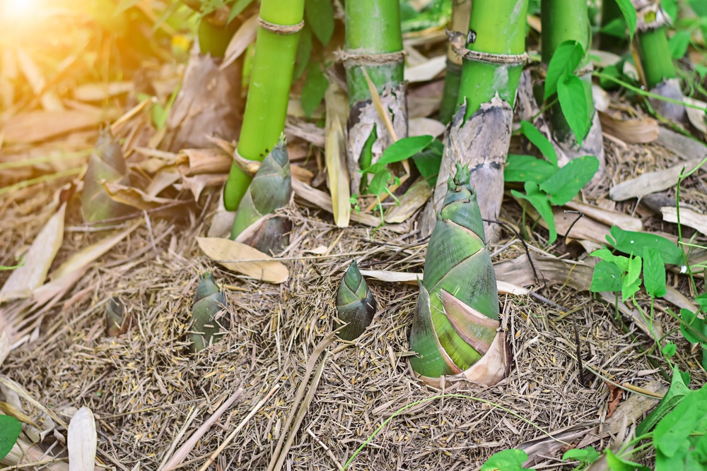 How to Grow Bamboo From Root Cuttings