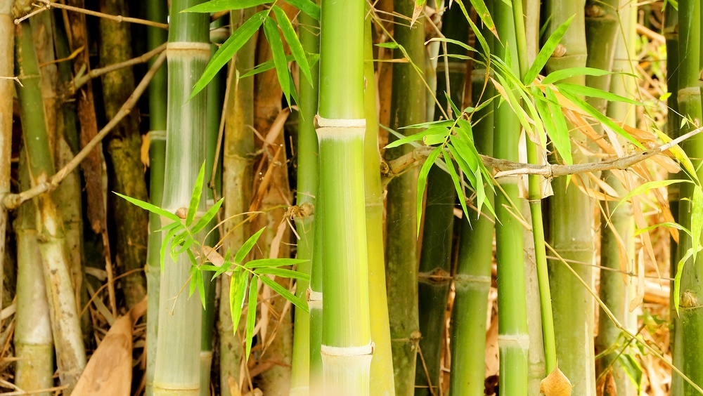 How to grow bamboo from rhizome cuttings