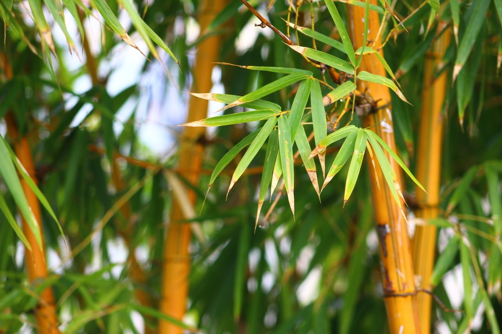 How to grow bamboo from stem cuttings