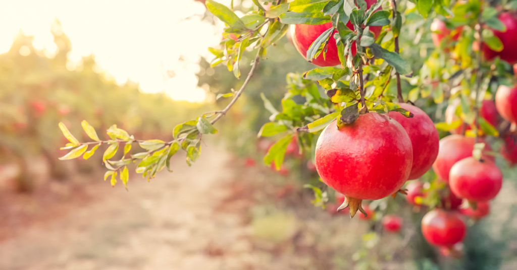 how-to-tell-if-a-pomegranate-is-ripe
