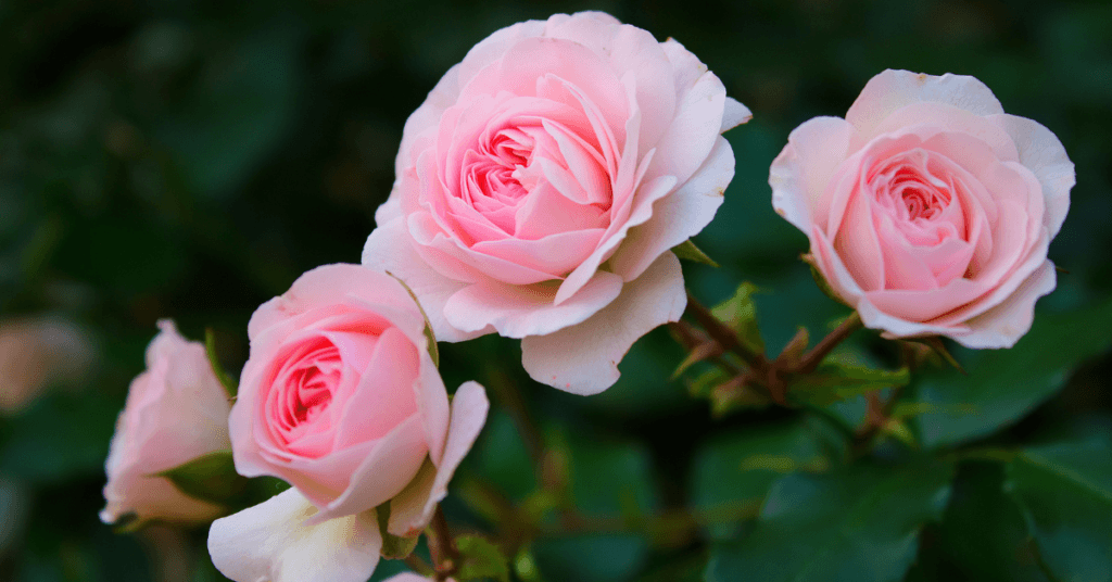 how-to-grow-and-preserve-roses