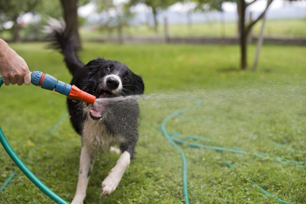dog-playing-water-garden-hose