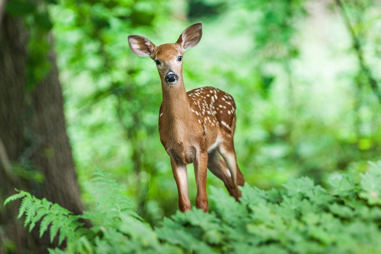 wildlife-deer