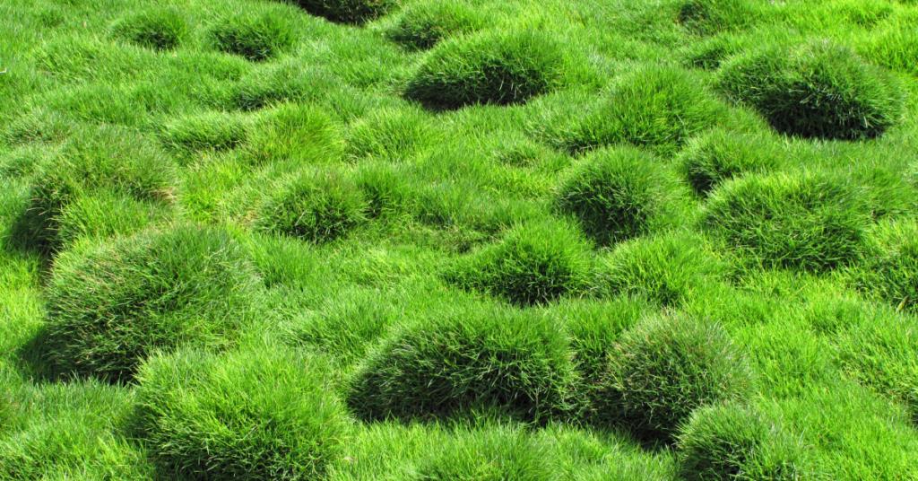 how-to-take-care-of-zoysia-grass