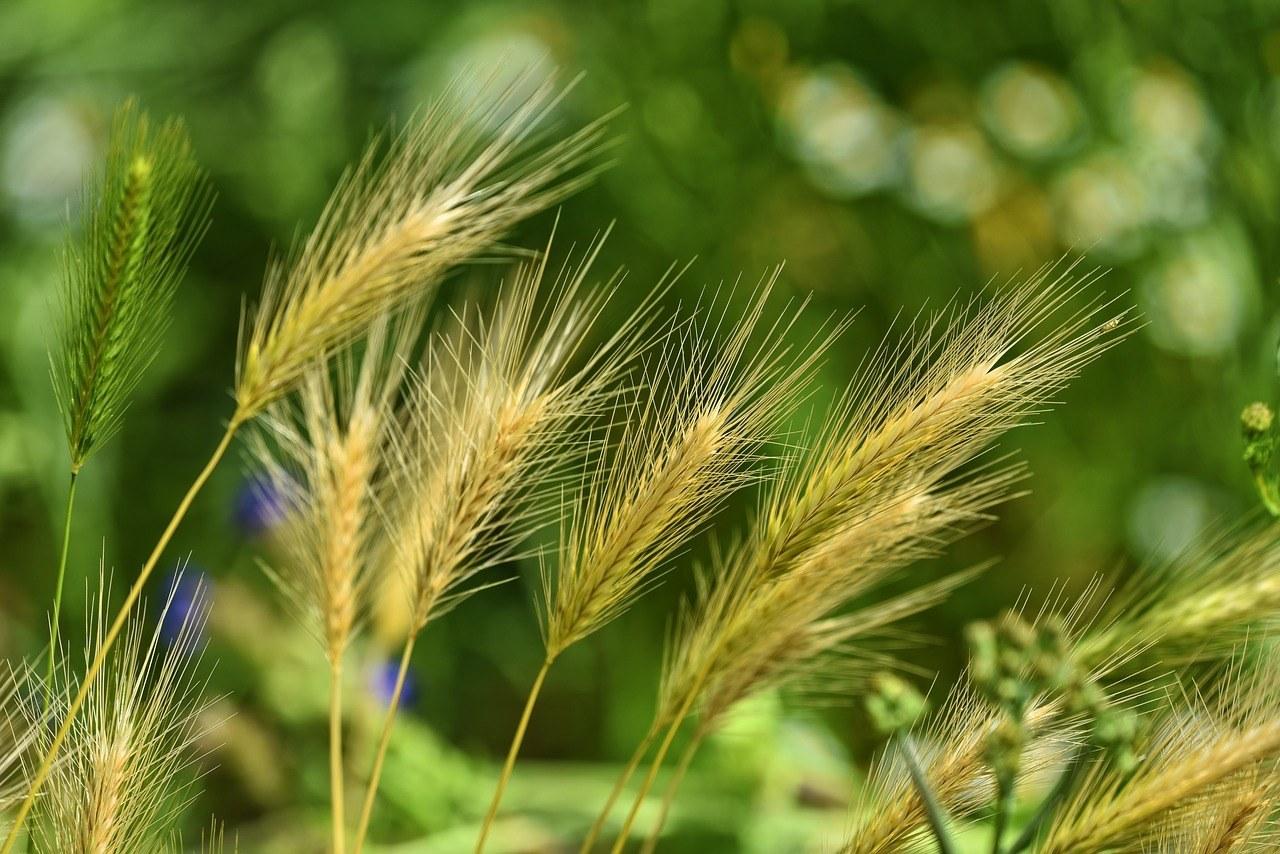 foxtail-barley-grass-weed