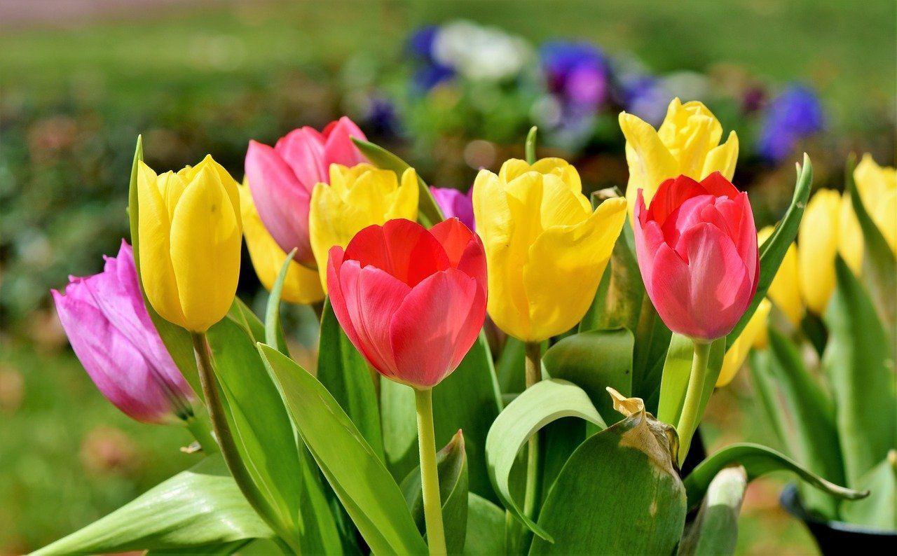 tulip-bouquet