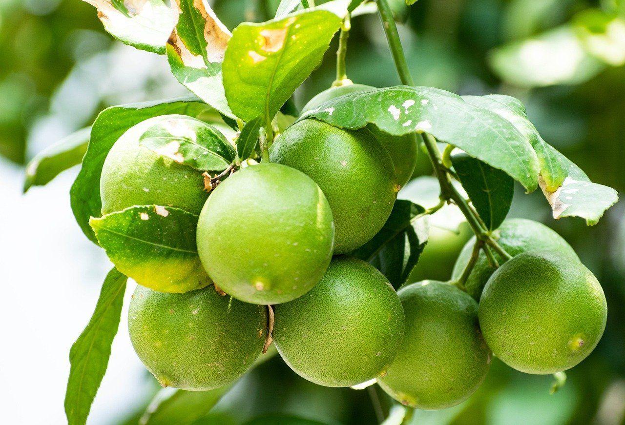 unripe-lemon