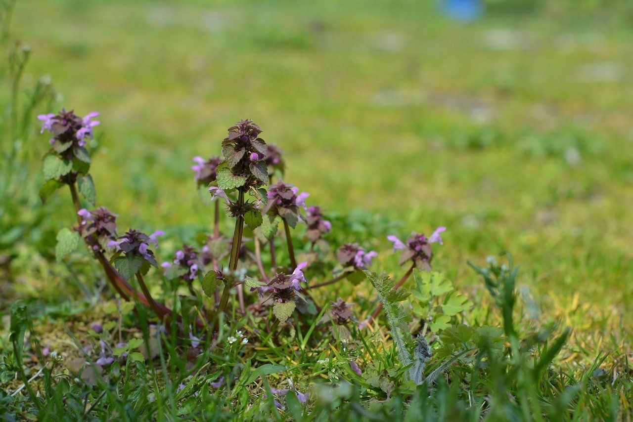 weed-plants