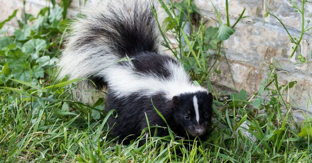 how-to-keep-skunks-out-of-the-garden